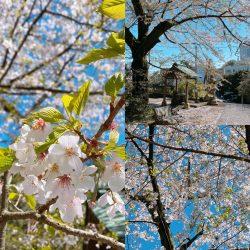 2020.04.04桜🌸